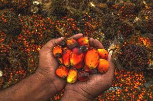 File photo: Oil palm
