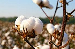 Zimbabwe's cotton farmers warned against cheating
