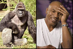 Mike Tyson and a Gorilla