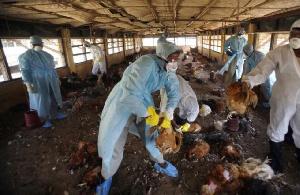 Human cases of Avian Influenza H5N1 confirmed