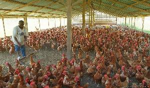 File photo: A poultry farmer