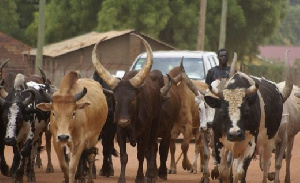 Herdsman and their cattle