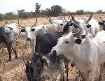 U.S. dairy cows arrive in Ekiti