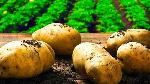 File photo: Sweet potatoes