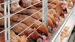 Poultry farmers lament high cost of feeds, other inputs in Plateau